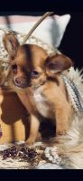 Chihuahua Puppies for sale in Antioch, CA, USA. price: NA