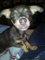 Chihuahua Puppies for sale in Sherwood, MI 49089, USA. price: NA