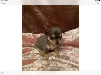Chihuahua Puppies for sale in The Bronx, NY, USA. price: NA