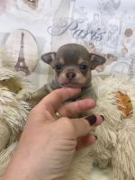 Chihuahua Puppies for sale in Elyria, OH 44035, USA. price: NA
