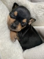 Chihuahua Puppies for sale in Yonkers, NY, USA. price: NA
