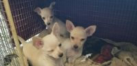 Chihuahua Puppies for sale in Julian, CA 92036, USA. price: NA