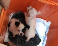 Chihuahua Puppies for sale in Vero Beach, FL 32967, USA. price: NA