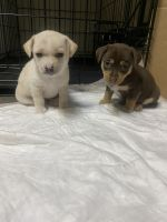 Chihuahua Puppies for sale in Sacramento, CA 95823, USA. price: NA