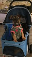 Chihuahua Puppies for sale in Anaheim, CA, USA. price: NA