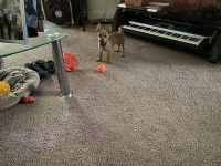 Chihuahua Puppies for sale in Durham, NC, USA. price: NA