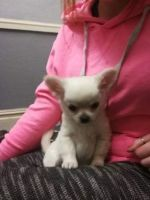 Chihuahua Puppies for sale in Clermont, FL 34711, USA. price: NA