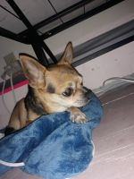 Chihuahua Puppies for sale in Anchorage, AK, USA. price: NA