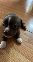 Chihuahua Puppies for sale in 1015 Essex St, San Antonio, TX 78210, USA. price: NA