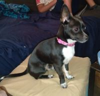 Chihuahua Puppies for sale in Fort Lauderdale, FL, USA. price: NA