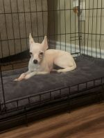 Chihuahua Puppies for sale in San Marcos, CA 92069, USA. price: NA