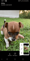 Chihuahua Puppies for sale in Palm Bay, FL, USA. price: NA
