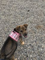 Chihuahua Puppies for sale in Wanaque, NJ, USA. price: NA