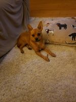 Chihuahua Puppies for sale in Vineland, NJ, USA. price: NA