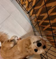 Chihuahua Puppies for sale in Florissant, MO, USA. price: NA