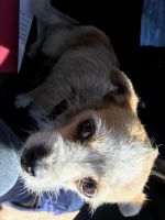 Chihuahua Puppies for sale in Whittier, CA 90605, USA. price: NA