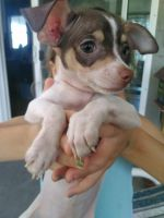 Chihuahua Puppies for sale in Ormond Beach, FL, USA. price: NA
