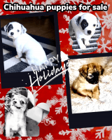 Chihuahua Puppies for sale in Odessa, FL 33556, USA. price: NA