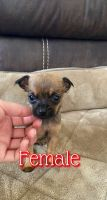 Chihuahua Puppies for sale in 29109 47th Ave S, Auburn, WA 98001, USA. price: NA