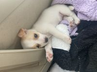 Chihuahua Puppies for sale in Mansfield, TX, USA. price: NA