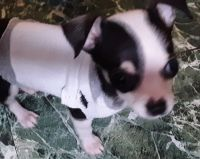 Chihuahua Puppies for sale in Anderson, SC, USA. price: NA
