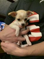 Chihuahua Puppies for sale in Clay, NY, USA. price: NA