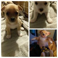 Chihuahua Puppies for sale in South Ogden, UT 84403, USA. price: NA
