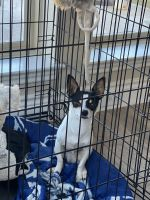 Chihuahua Puppies for sale in 3129 Rabbit Creek Dr, Georgetown, TX 78626, USA. price: NA