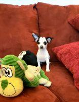 Chihuahua Puppies for sale in Escondido, CA, USA. price: NA