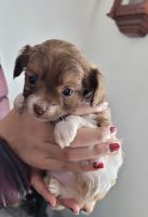 Chihuahua Puppies for sale in Albion, PA 16401, USA. price: NA