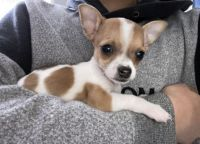 Chihuahua Puppies for sale in Carlsbad, CA, USA. price: NA