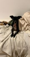 Chihuahua Puppies for sale in Goleta, CA, USA. price: NA