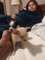 Chihuahua Puppies for sale in 6301 Sierra Blanca Dr, Houston, TX 77083, USA. price: NA