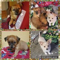 Chihuahua Puppies for sale in Wilder, ID 83676, USA. price: NA