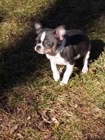Chihuahua Puppies for sale in Maplewood, MN, USA. price: NA