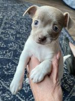 Chihuahua Puppies for sale in Joelton, Nashville, TN 37080, USA. price: NA