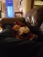 Chihuahua Puppies for sale in Herrin, IL 62948, USA. price: NA