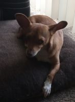 Chihuahua Puppies for sale in Old East Dallas, Dallas, TX, USA. price: NA