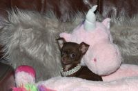 Chihuahua Puppies for sale in Los Angeles, CA, USA. price: NA