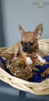 Chihuahua Puppies for sale in Castro Valley, CA, USA. price: NA