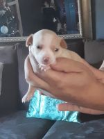 Chihuahua Puppies for sale in Bradenton, FL, USA. price: NA