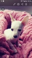 Chihuahua Puppies for sale in North Aurora, IL 60542, USA. price: NA