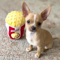 Chihuahua Puppies for sale in Los Gatos, CA, USA. price: NA