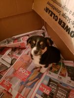 Chihuahua Puppies for sale in Milford Charter Twp, MI, USA. price: NA