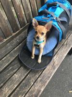 Chihuahua Puppies for sale in Marietta, GA, USA. price: NA