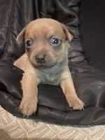 Chihuahua Puppies for sale in Volusia County, FL, USA. price: NA