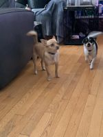 Chihuahua Puppies for sale in Piscataway, NJ 08854, USA. price: NA