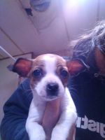 Chihuahua Puppies for sale in Blythe, CA, USA. price: NA