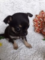 Chihuahua Puppies for sale in Red Rock, TX 78662, USA. price: NA