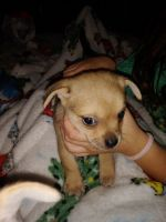 Chihuahua Puppies for sale in Anniston, AL, USA. price: NA